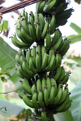 Banana plant with ripe bananas