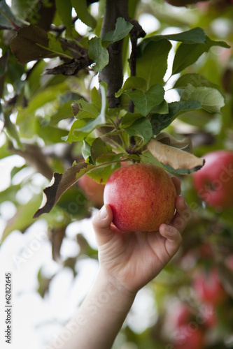 An apple tree with red round fruits, ready for picking. A person holding and picking one apple.