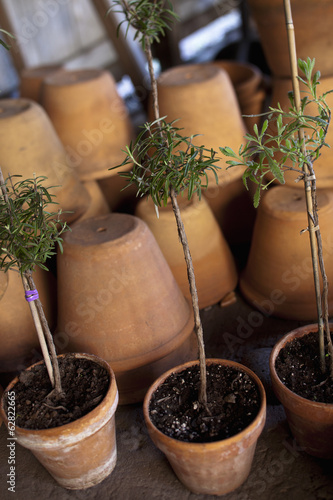 A group of clay pots with cuttings and seedlings for overwintering.