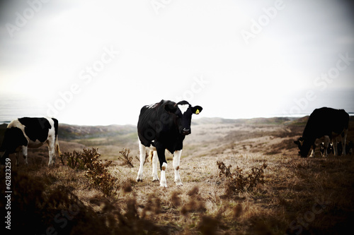 Three cows on grazing land.