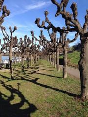 Allee mit knorrigen Bäumen, Linden auf Kopf geschnitten