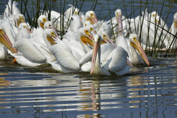 Close Up of White Pelicans in Blue Water