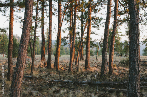 A Ponderosa pine forest at dusk. The setting sun lighting up the trees.