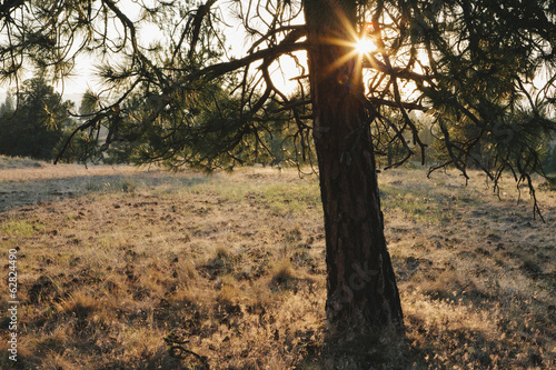 Sun shining through Ponderosa Pine tree, dusk
