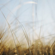 Close up of sea grasses on the Long Beach Peninsula, in Washington, USA.