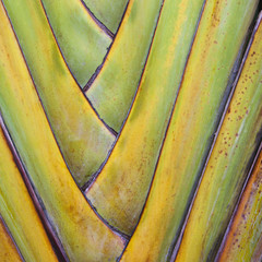 Traveller's Palm or fan palm tree, with intersecting leaf stems, fitting closely together, in Tulum, Mexico.