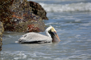 Pelican Scooping Up Fish in His Pouch