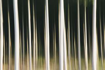 Poplar trees with straight trunks. Oregon, USA