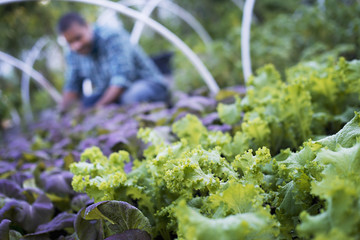 A farmer working among salad plants, lettuce and salad leaf vegetables, in an organic market garden.