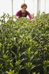 A woman working in a large glasshouse, full of organic plants coming into flower. Tall lilies with flower buds.