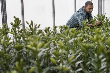 A man working in a large greenhouse full of flowers. Lilies coming into bud.