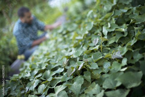 A farmer tending to cucumber plants in an organic garden.