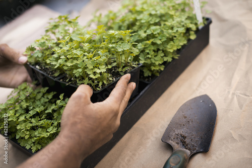 Organic flat parsley plants in trays ready to be transplanted. Plug plants.