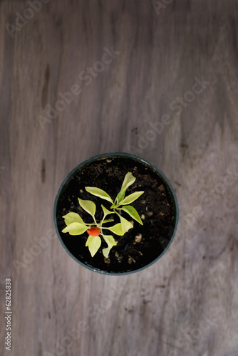 An organic seedling, a bell pepper plant in a greenhouse, viewed from above.