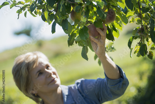 Middle-aged Woman Picking from Organic Macintosh Apple Tree