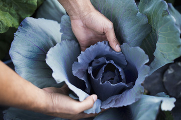Organic Cabbage Plants in Field