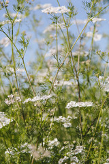 Flowering cilantro or Chinese Parsley plants, the coriander herb used for flavouring in cooking.