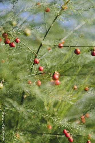 An asparagus plant, Asparagaceae, with tall stalks and light green ferny foliage. Red seeds.
