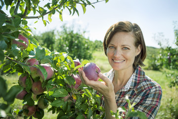 A woman in a plaid shirt picking apples from a laden bough of a fruit tree in the orchard at an organic fruit farm.