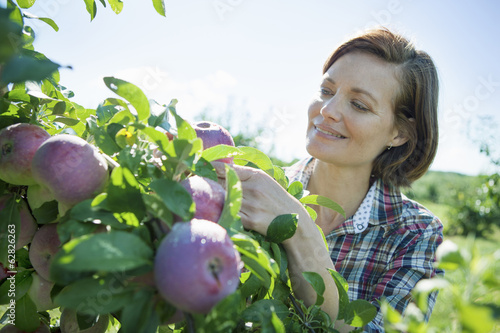 A woman in a plaid shirt picking apples from a laden branch of a fruit tree in the orchard at an organic fruit farm.