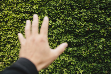 A man's hand reaching towards a wall of green ivy, in Seattle,. Washington.