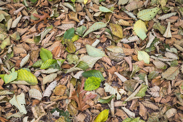 Alder leaves on the ground in the fall, Discovery Park, Seattle< Washington.
