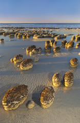 Stromatolites, prehistoric rock formations on the beach at Shark Bay, Western Australia, Australia