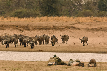 A walking safari party of people led by a guide, lying flat on a riverbank. Watching a buffalo herd in the Luangwa Valley, Zambia.
