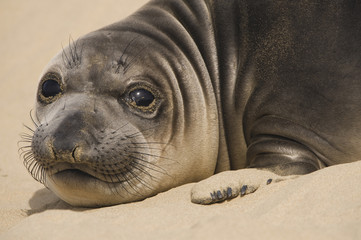 Northern elephant seal pup, Mirounga angustirostris, Ano Nuevo State Reserve, California