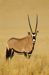 An oryx or gemsbok in grassland, Oryx gazella, in the NamibRand Nature Reserve, Namibia