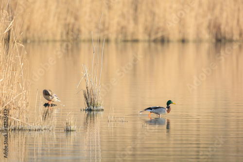 Couple wild mallard ducks