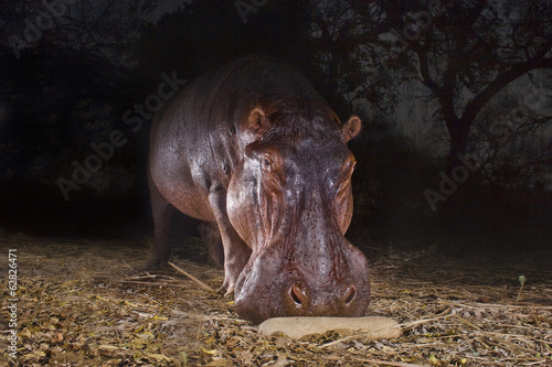 Hippopotamus,  Hippopotamus amphibius sniffing at a sausage tree fruit on the ground, in the Luangwa Valley, Zambia