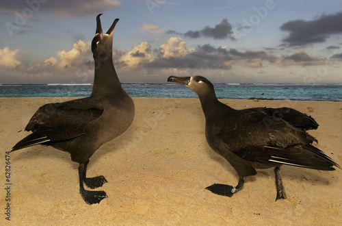 Black-footed albatrosses,  Phoebastria nigripes, in a courting display on Tern Island, Hawaiian Leeward Islands