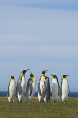 King penguins, Aptenodytes patagonicus, gathered in a group looking up in a courting display, on the Falkland Islands