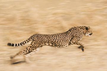 Cheetah, Acinonyx jubatus,  running across the plain at the Cheetah Conservation Fund reserve in Namibia