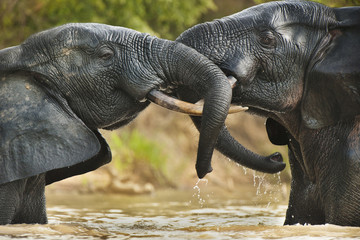 Elephant bulls, Loxodonta africana, two adult males standing in the water in  Mole National Park, Ghana, in an agressive confrontation.