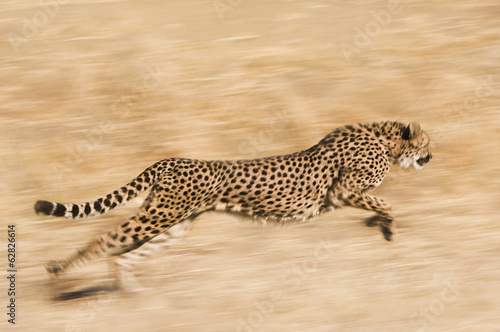 Cheetah, Acinonyx jubatus,  running across the plain at the Cheetah Conservation Fund reserve in Namibia
