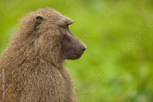Baboon female, Papio cynocephalus, Mole National Park, Ghana