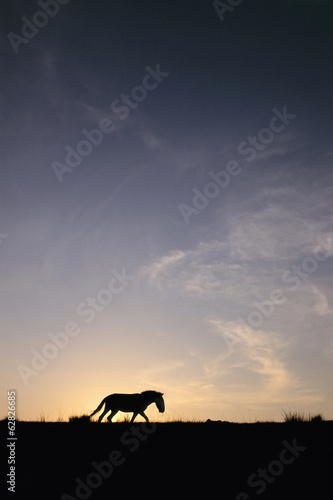 Takhi at sunset, Equus caballus przewalskii, Hustain Nuruu National Park, Mongolia