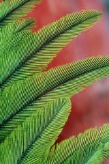 Resplendent quetzal feathers, Pharomachrus mocinno, Costa Rica