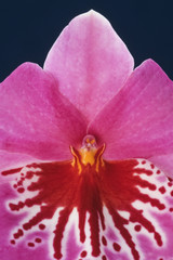 Orchid, Miltonia hybrid, a close up of the pink petals and markings in the centre of the flower.