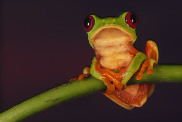Red-eyed tree frog, Agalychnis callidryas, Barro Colorado Island, Panama