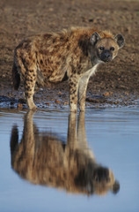 Spotted hyena at waterhole, Crocuta crocuta, Masai Mara Reserve, Kenya
