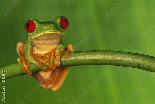 Red-eyed tree frog, Agalychnis callidryas, Barro Colorado Island, Panama