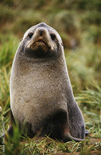 Antarctic fur seal, Arctocephalus gazella, South Georgia Island