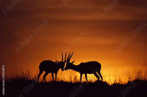 Thomson's gazelles sparring, Gazella thomsonii, silhouetted against the setting sun in the Masai Mara Reserve, Kenya