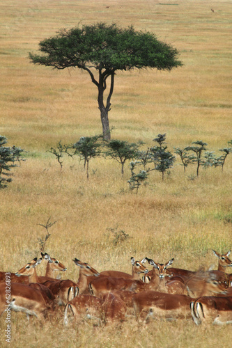 Impalas and Aepyceros melampus, on grassland with small acacia trees in the Masai Mara Reserve, Kenya