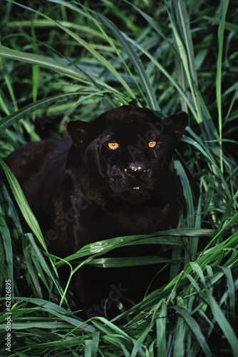 Black jaguar, Panthera onca, Brazil