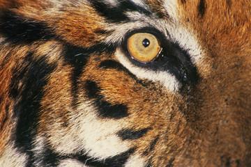 Bengal tiger's face, Panthera tigris tigris, a big cat native to India