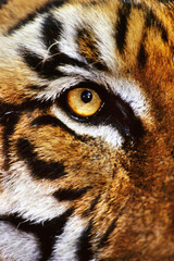 Bengal tiger face, Panthera tigris tigris, Native to India